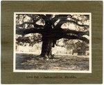 Mounted Photograph: Live Oak, Jacksonville, Florida 1900's