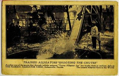 """Postcard: """"Trained Alligators Shooting the Chutes"""" Alligator Farm Jacksonville, Florida"""