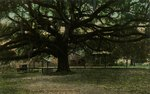 Postcard: Old Live Oak Tree, Jacksonville, Florida 1900's