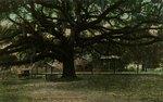 Postcard: Old Live Oak Tree, Jacksonville, Florida 1900's