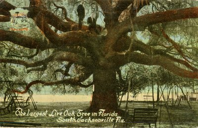 Postcard: The largest Live Oak Tree in Florida, South Jacksonville