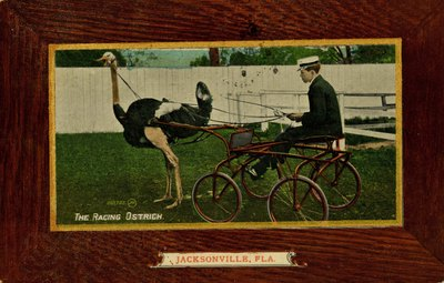 Postcard: The Racing Ostrich, Jacksonville, Florida