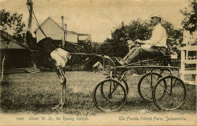 Postcard: Oliver W. Jr., The Racing Ostrich, The Florida Ostrich Farm, Jacksonville, Florida 1900's