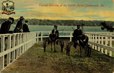 Postcard: Trained Ostriches at the Ostrich Farm, Jacksonville, Florida