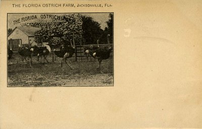 Postcard: Set of six cards from the Ostrich Farm, Jacksonville, Florida; 1910's