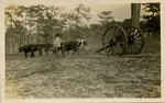 Postcard: Florida Landscape with Cattle, Jacksonville, Florida; 1915