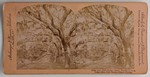 Stereograph Card: Cedar Ave., Fort George Island, Florida; 1870-1890s