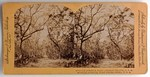 Stereograph Card: Myrtle Avenue, Fort George Island, Florida; 1880-1900s