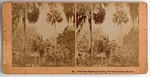 Stereograph Card: View from Edgewood Avenue, Fort George Island, Florida; 1880-1900s