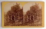 Stereograph Card: Orange Picking, Jacksonville, Florida; 1870-1890