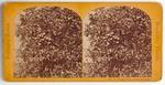 Stereograph Card: Orange Tree on Stowe Estate, Southern Series, Mandarin, Florida; 1870-1890