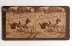 Stereograph Card: Famous Trotting ostrich Oliver W.-Harnessed for a spin-record of 2.02, Jacksonville, Fla.; 1905