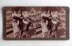 Stereograph Card: A Superbly plumed ostrich in the plucking pen at the big ostrich farm, Jacksonville, Florida; 1905