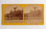 Stereograph Card: Date Tree, St. Augustine, Florida; Undated