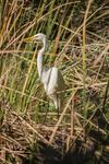 Great egret by Jennifer Christie Sloan