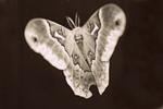 Plyphemus Moth